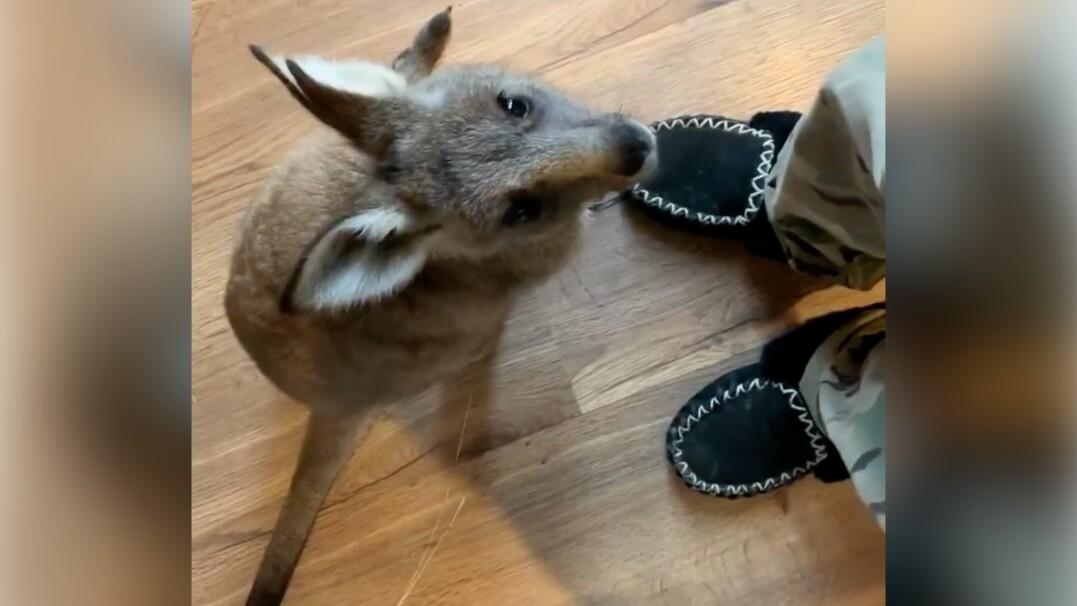 Jakie dźwięki wydaje mały kangur? Urocze nagranie z Australii