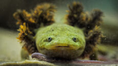 Salamandra z jeziora Patzcuaro w ogrodzie zoologicznym w Chester
