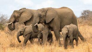 Wszystkie gatunki słoni na świecie zagrożone wyginięciem